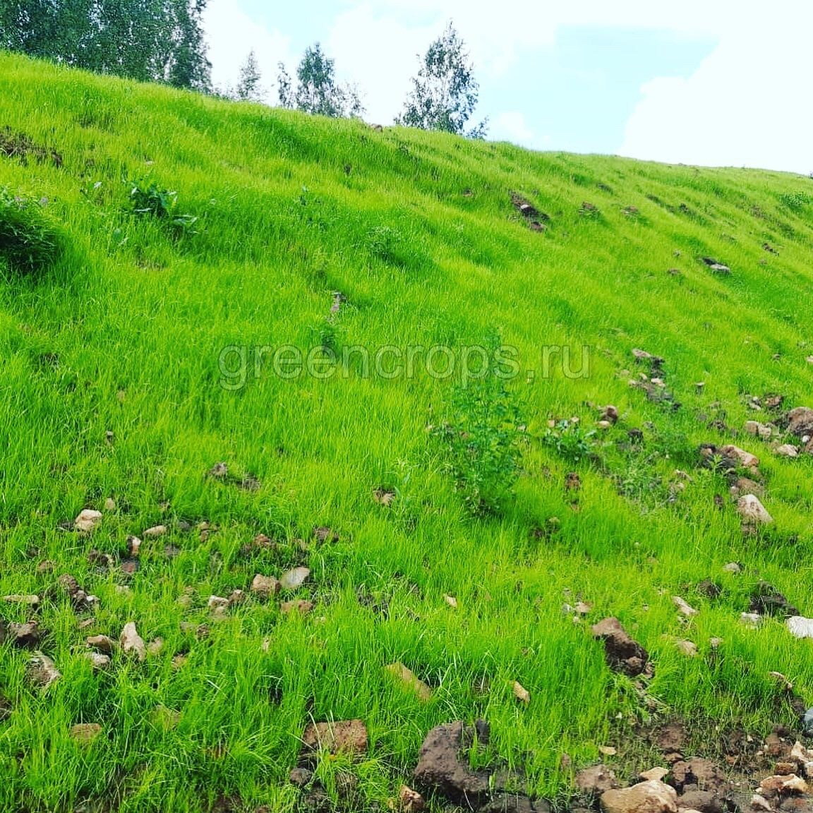 Всходы газона после гидропосева